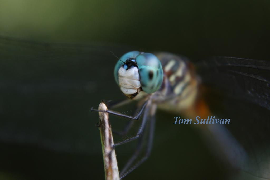 dragonflyName