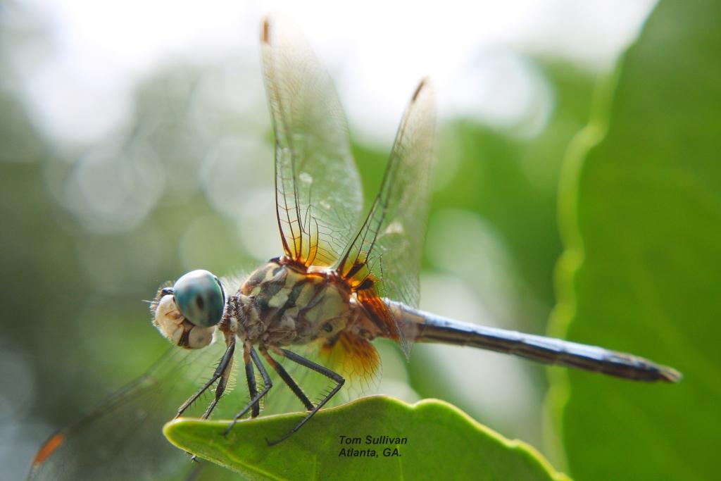 dragonflyhairy1a copy